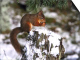 Red Squirrel, Sat on Stump in Snow Feeding, UK Posters by Mark Hamblin