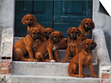 Domestic Dogs, Seven Rhodesian Ridgeback Puppies Sitting on Steps Print by Adriano Bacchella