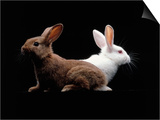 White and Brown Rabbit Posters by Howard Sokol