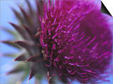 Musk Thistle, Close-up of Flower Head, UK Prints by Mark Hamblin