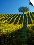 Fall Foliage in Vineyard, Sonoma, CA Prints by Inga Spence