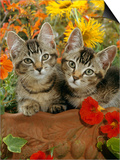 10-Week, Short-Haired Ticked Tabby Kittens with Nasturtiums, Montbretia and Yellow Daisies Posters by Jane Burton