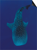 Whale Shark, Sulu-Sulawesi Seas, Indo-Pacific Print by Jurgen Freund