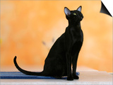Oriental Shorthair Cat, Black Ebony Posters by Petra Wegner