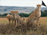 Cheetah & Cubs, Termite Mound, Masai Mara, Keny Posters by Michele Burgess