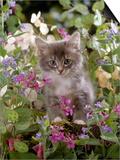 Domestic Cat, 7-Week, Fluffy Grey Male Kitten Among Flowers Posters by Jane Burton