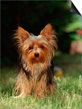 Yorkshire Terrier Print by  Steimer