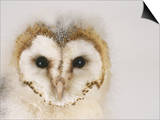 Barn Owl, Portrait of Face Posters by Les Stocker