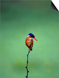 Malachite Kingfisher, Alcedo Cristata Galerita Prints by Elizabeth DeLaney