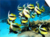 Banner Fish, St. Johns Reef, Red Sea Plakater av Mark Webster