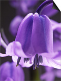 Hyacinthoides Non-Scripta, Close-up Poster by Mark Bolton