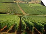 Vineyards Near Lugny, Burgundy (Bourgogne), France Prints by Michael Busselle