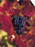 Grapes Ready for Harvest, Napa Valley, CA Prints by Robert Houser
