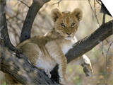 African Lion, Cub, Botswana Poster di Mark Hamblin