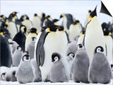 Emperor Penguins (Aptenodytes Forsteri) and Chicks, Snow Hill Island, Weddell Sea, Antarctica Print by Thorsten Milse