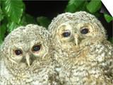 Tawny Owl, Strix Aluco Chicks, Close-up Portraits W. Yorks, UK Prints by Mark Hamblin
