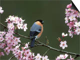 Bullfinch, Pyrrhula Pyrrhula, Male, Feeding on Cherry Blossom, UK Posters by Mark Hamblin