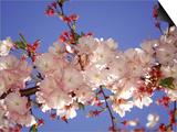 Kirschblüte Kunstdrucke von Rudi Von Briel