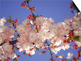 Cherry Blossom Prints by Rudi Von Briel