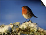 Robin, Perched on Branch in Snow, Scotland, UK Posters by Mark Hamblin