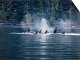 Killer Whale, Pod at Surface, BC, Canada Prints by Gerard Soury
