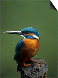 Kingfisher, (Alcedo Atthis), Nrw, Bielefeld, Germany Posters by Thorsten Milse