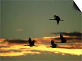 Sandhill Cranes at Dusk, New Mexico Plakaty autor David Tipling