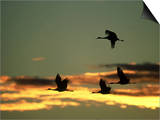 Sandhill Cranes at Dusk, New Mexico Posters by David Tipling