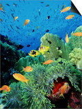 Clown Fish, Red Sea Poster by Mark Webster