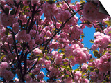 Flowering Cherry Tree, Ct Prints by Bud Freund