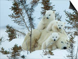 Polar Bear (Ursus Maritimus) Mother with Triplets, Wapusk National Park, Churchill, Manitoba Prints by Thorsten Milse