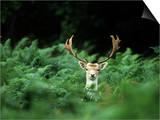 Fallow Deer, Buck, UK Prints by David Tipling