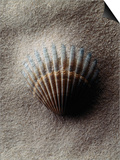 Scallop Shell in Sand Print by Howard Sokol