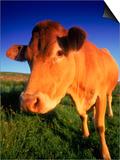 Cow, Yorkshire, England Kunstdrucke von Peter Adams