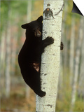 Black Bearursus Americanuscub Sat up Tree, Autumn Foliage Prints by Mark Hamblin