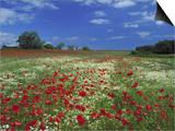 Common Poppy, and Oxeye Daisy, Scotland Posters by Mark Hamblin