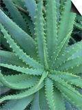 Agave, Leaf Detail, La Corse, France Prints by Olaf Broders