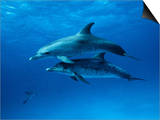 Atlantic Spotted Dolphins, Bahamas, Caribbean Prints by Gerard Soury