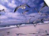 Gulls Flying Over Beach, Ocracoke Island, NC Posters by Martin Fox