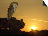 Barn Owl, Tyto Alba Asleep at Sunset Poster van Mark Hamblin