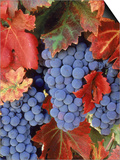 Zinfandel Grapes on Vine with Gold Fall Foliage, CA Print by Inga Spence