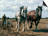 Ploughing with Shire Horses, Derbyshire, England, United Kingdom Posters by Michael Short