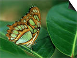 Malachite Butterfly, Siproeta Stelenes Print by Adam Jones
