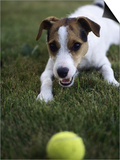 Jack Russell Terrier Playing with Ball in Backyard Prints by Jim Corwin