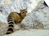 Ringtail Cat, USA Prints by Wendy Shattil & Bob Rozinski