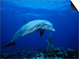 Bottlenose Dolphin, Underwater, Providenciales Posters by Gerard Soury