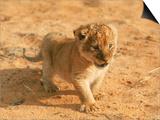 John Dominis - Lion Cub in Africa - Reprodüksiyon