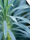 "Euphorbia Characias ""Wulfenii"" Prints by Lynn Keddie"