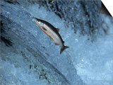 Red Salmon Swimming Upstream, Katmai, AK Prints by Kyle Krause