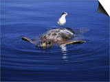 Loggerhead Turtle, with Tern on Back, Azores, Atlantic Ocean Print by Gerard Soury